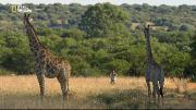 Жираф: Африканские гиганты (2015) HDTVRip-AVC от Kaztorrents
